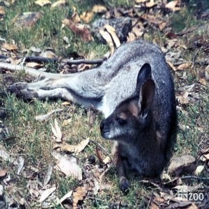 Bennett's Wallaby - Laying In The Grass 2