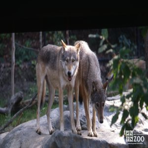 Two Mexican Gray Wolves Standing On Rock