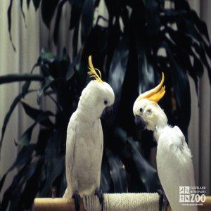 Two Sulphur-Crested Cockatoos Saying Hi