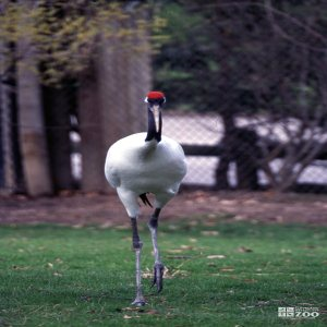 Crane, Japanese Red-Crowned Walking Forward