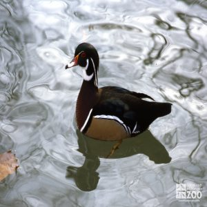 Duck, Mandarin Side View 2