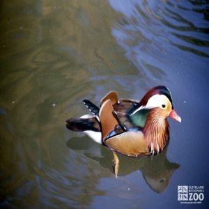 Duck, Mandarin Gliding Through Water 2