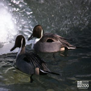 Duck, Pintails Up Close Side View