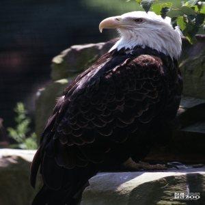 Eagle, Bald Looking Over Shoulder