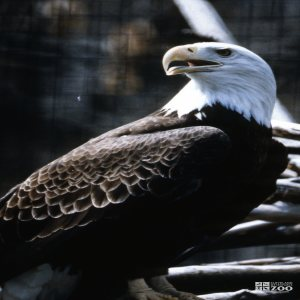 Eagle, Bald Looking Over Shoulder 2