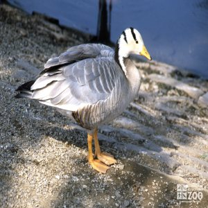Goose, Bar-Headed Sive View