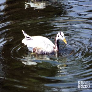 Goose, Bar-Headed Moving Through The Water