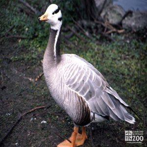 Goose, Bar-Headed Up Close
