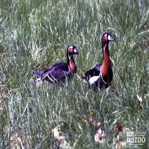 Goose, Red-Breasted Pair InThe Grass