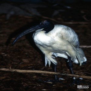 Ibis, Sacred Up Close of Face