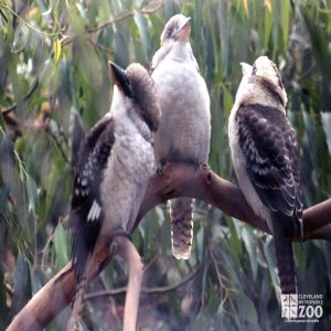 Kookaburra, Laughing Three On A Branch
