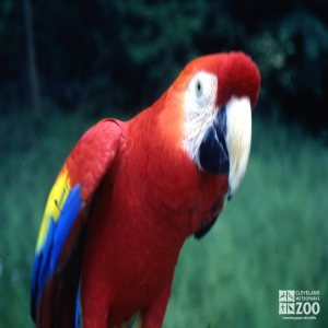 Macaw, Scarlet Up Close Front View