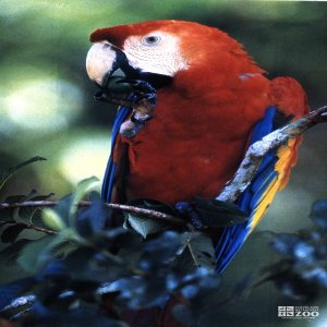 Macaw, Scarlet Eating Berry