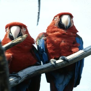 Macaw, Scarlet Two On A Branch