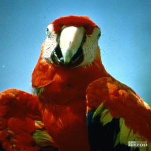 Macaw, Scarlet Up Close Front View 2