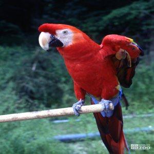 Macaw, Scarlet Wings Open