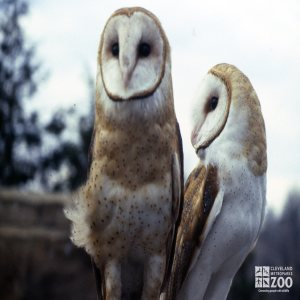 Barn Owl Pair