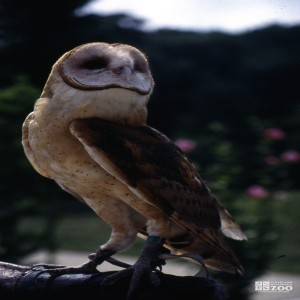 Barn Owls Side View 2