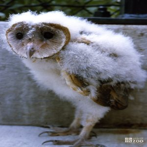 Barn Owl Chick Up Close