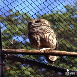 Barred Owl Sitting On Branch 2