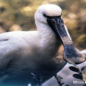 Spoonbill, Roseate Up Close Of Face/Beak 2