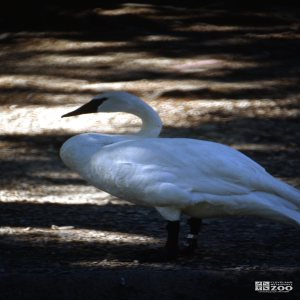 Swan,Trumpeter Side View