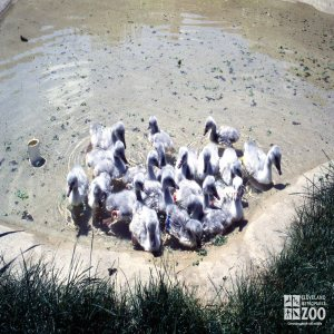 Swan,Trumpeter Juveniles In Water