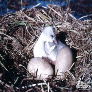 Swan,Trumpeter Eggs and Baby In Nest