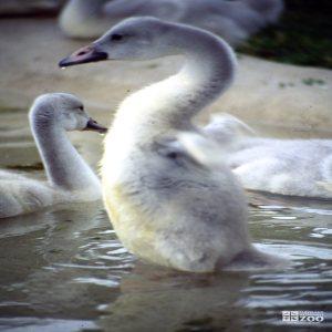Swan,Trumpeter Testing Wings