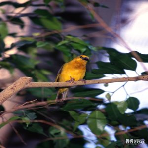 Weaver, Taveta Golden Sitting On Branch