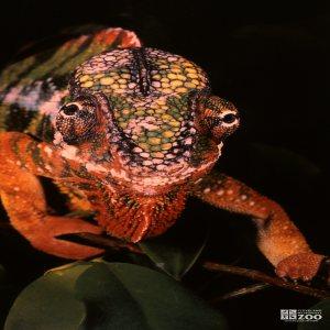 Chameleon, Panther Walking Forward