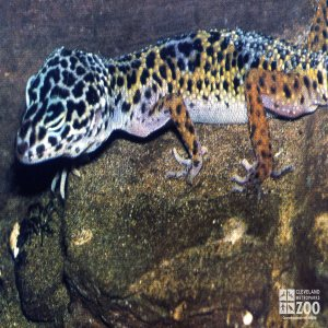 Gecko, Leopard Resting On a Rock