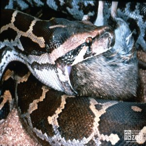 Python, Indian Rock Eating