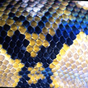 Python, Reticulated Up Close Of Scales