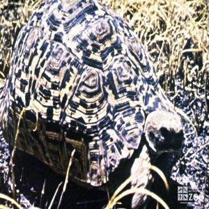 Tortoise, Leopard Walking In The Grass