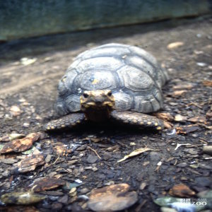 Tortoise, Red-Footed Looking Forward