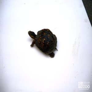 Turtle, Eastern Box Top View