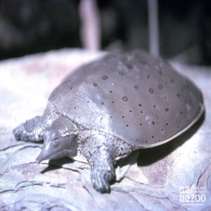 Turtle, Eastern Spiny Softshelled  Resting On Rock