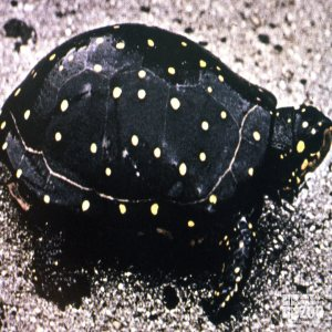 Turtle, Spotted Side View