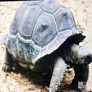 Aldabra Tortoise On the Move