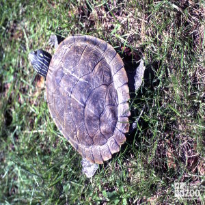 Common Map Turtle View Of Shell