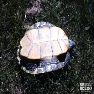 Common Map Turtle View Of Belly