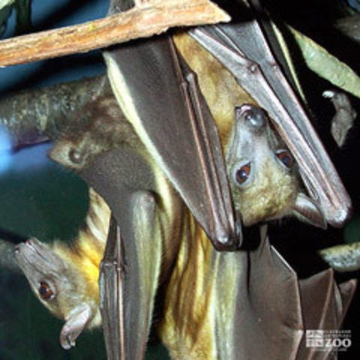 Straw-Colored Fruit Bats Hanging