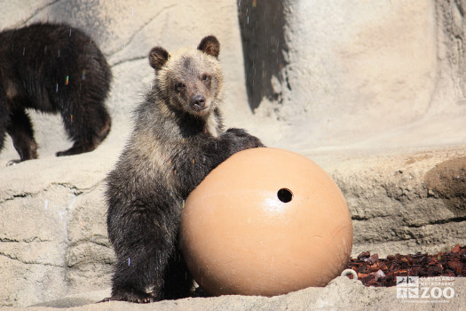 Grizzly with Ball