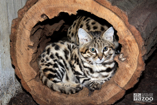 Black-Footed Cat in Tree