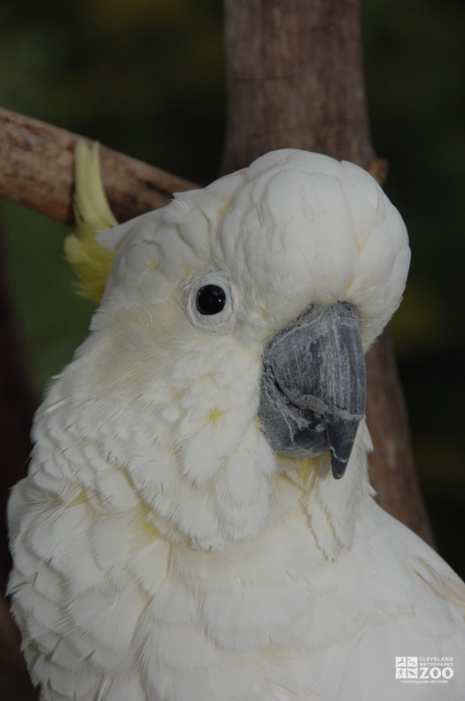 Sulphur-Crested Cockatoo Head Shot