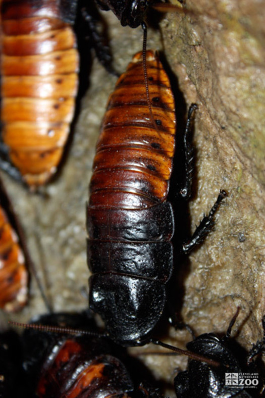 Cockroach on Branch