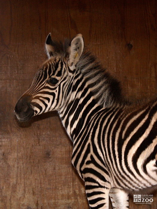 Grant's Zebra- New born Side View