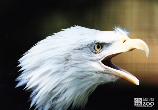 Eagle, Bald Open Mouth