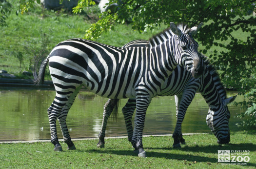Pair of Zebras by Water